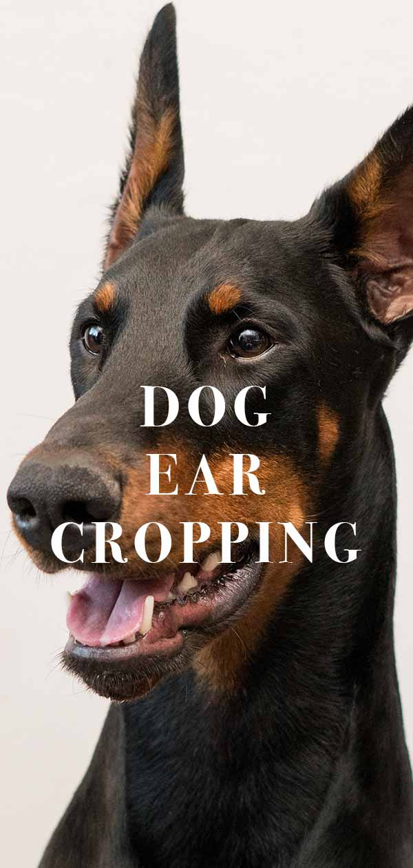 Dog Ear Cropping Should You Have Your Dogs Ears Cropped