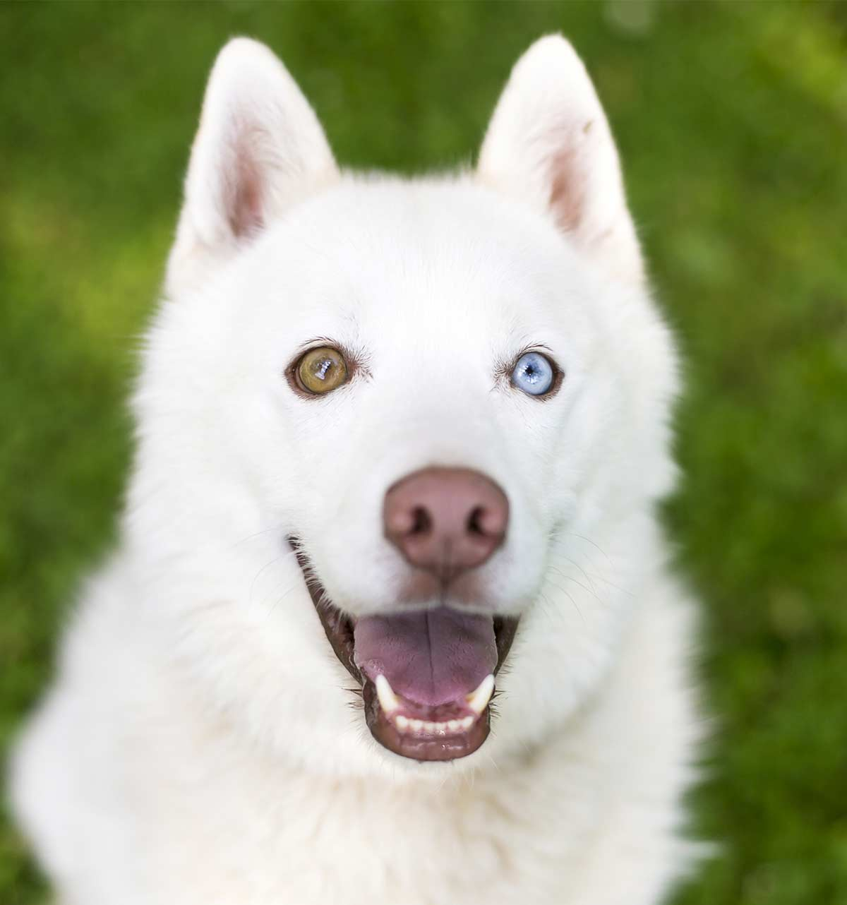 dogs with different colored eyes