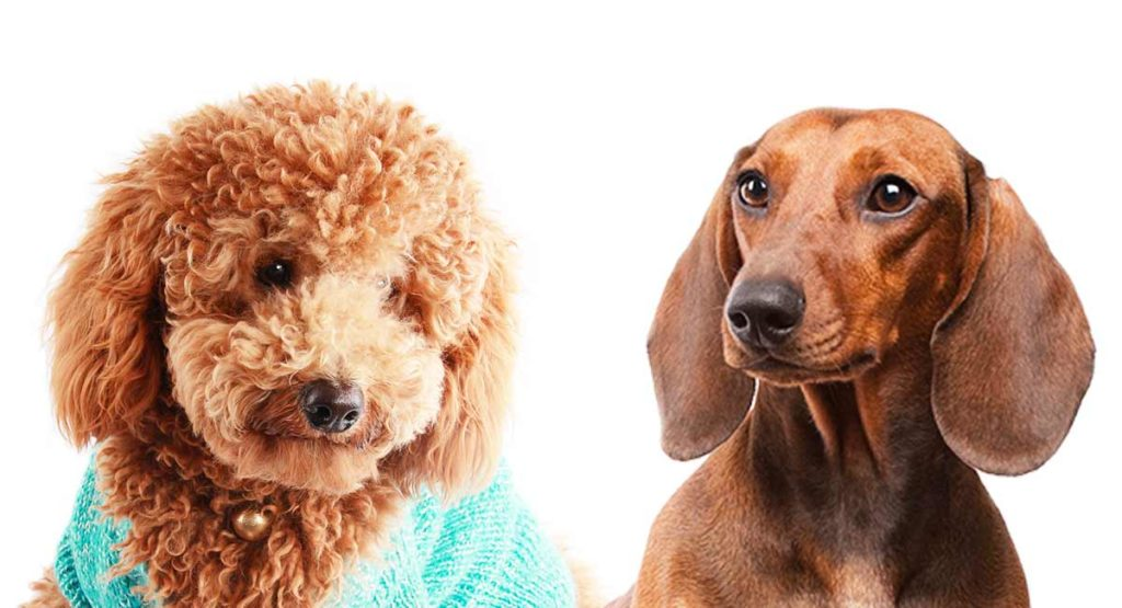 doxiepoo - dachshund mixes