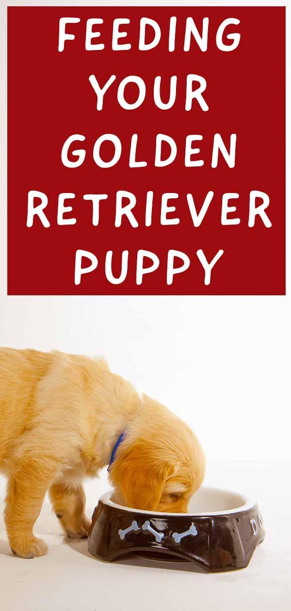 feeding a golden retriever puppy