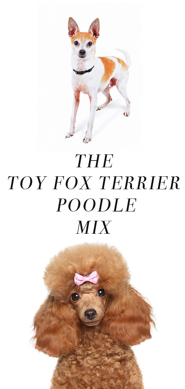Foodle - Fox Terrier Poodle mix
