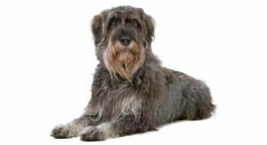 The Giant Schnauzer: Your Guide to a Beautiful, Big and Brainy Breed