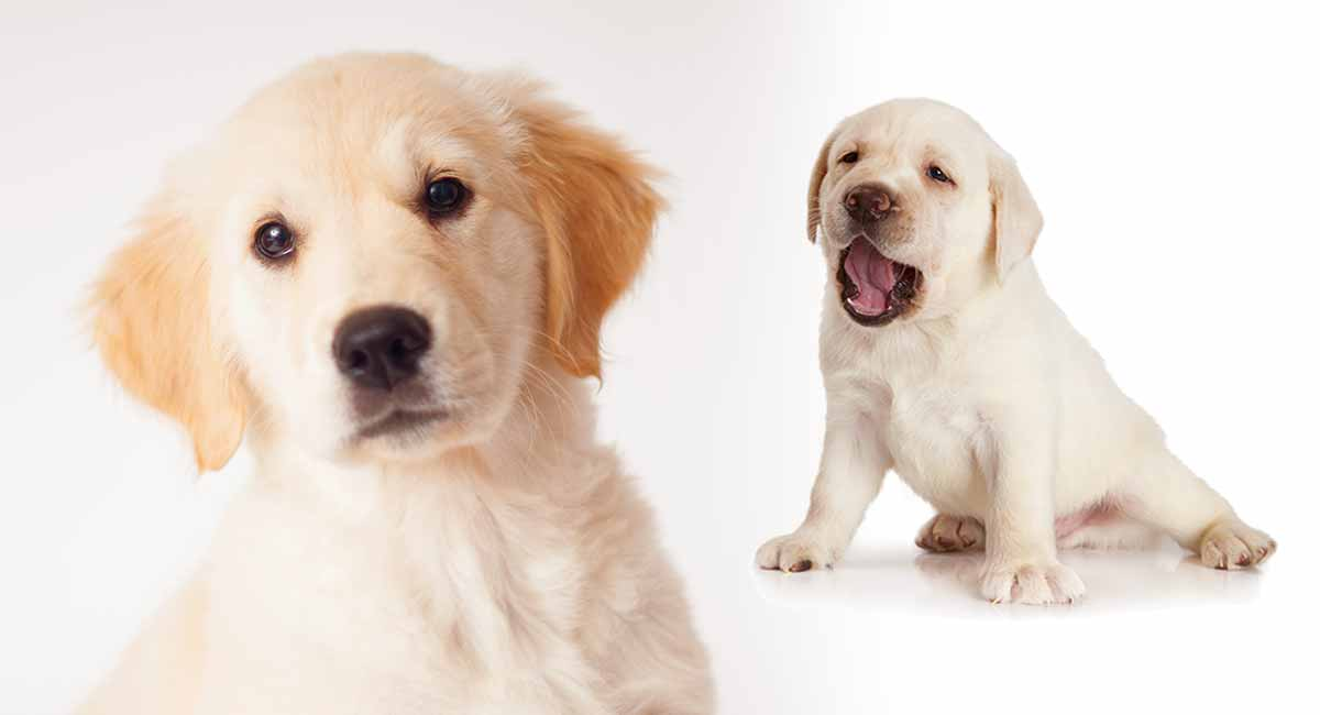 Golden Retriever Lab Mix A Complete Guide To The Goldador