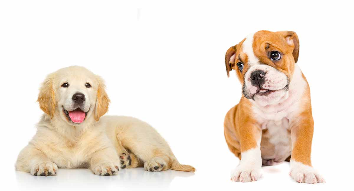 Golden Retriever Bulldog Mix | What You Need to Know About