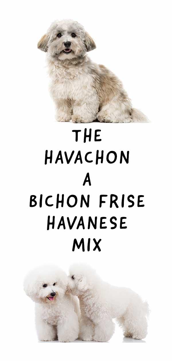 Havachon – The Adorable Havanese and Bichon Frise Mix