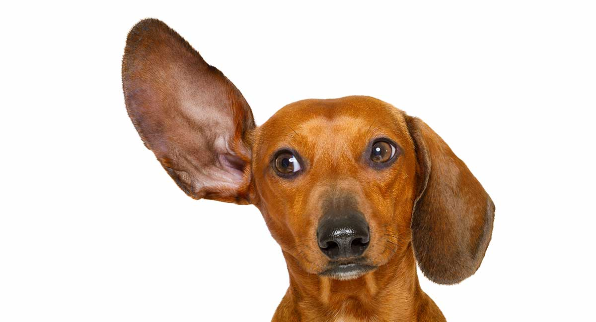 hearing aids for dogs