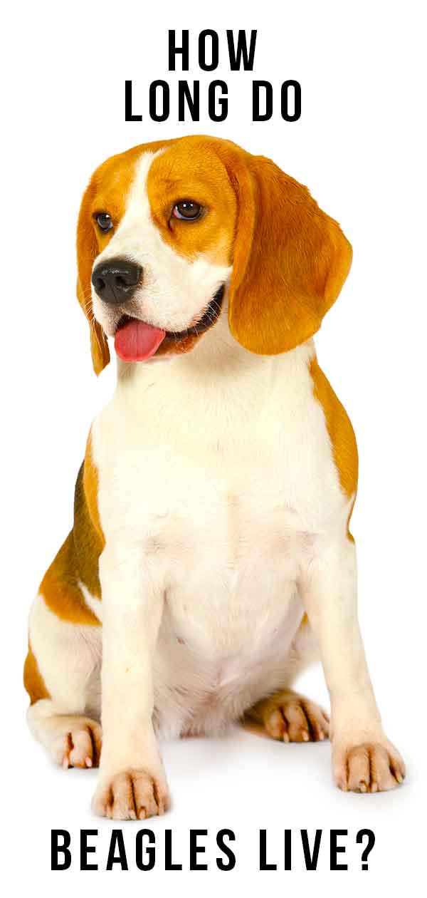 Beagle Lifespan: How Long Do Beagles Live? A Complete Guide.