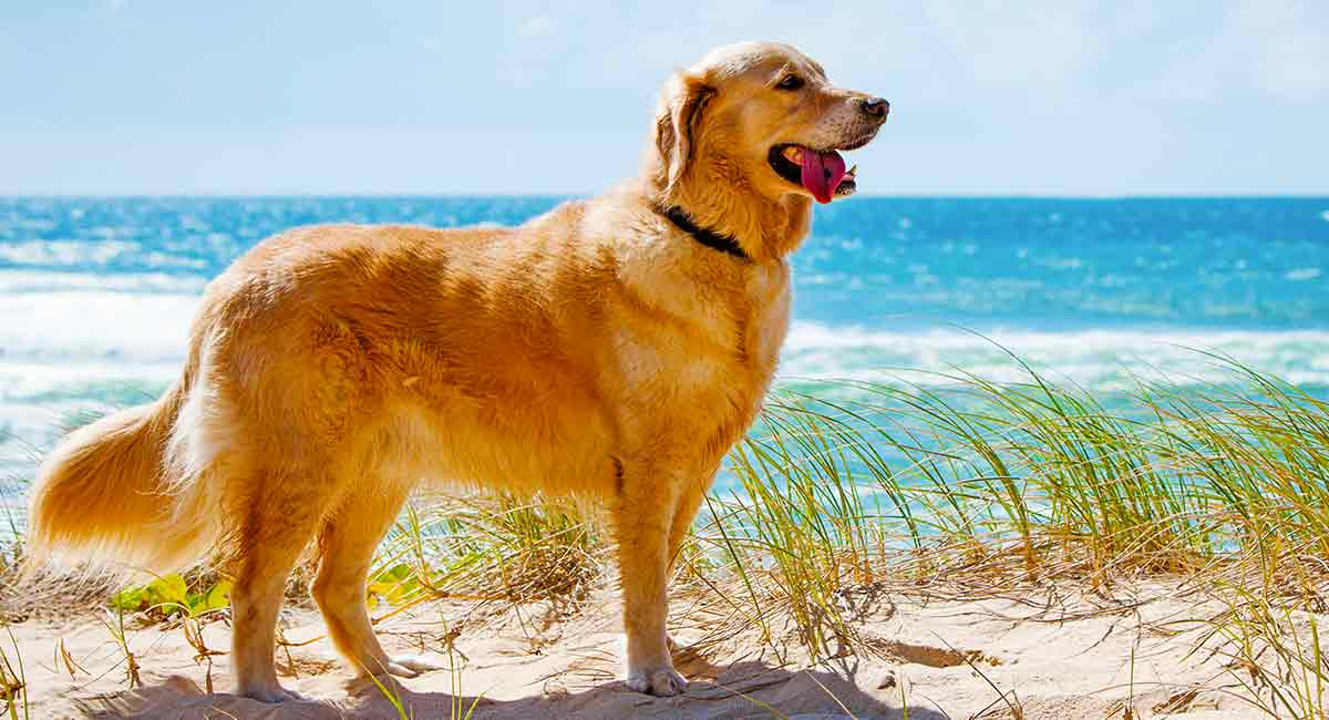 [Image: how-long-do-golden-retrievers-live-KH-long.jpg]