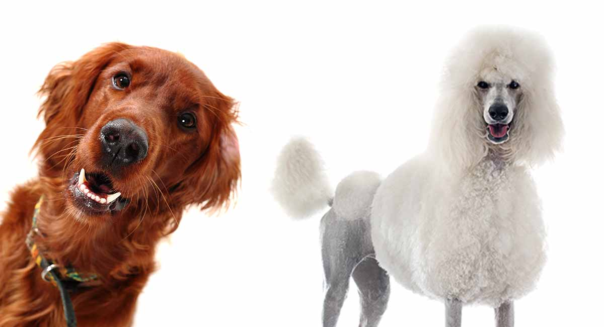 Irish Doodle - The Irish Setter Poodle Mixed Breed