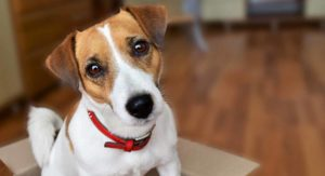 Jack Russell Terrier – The Little Dog With The Big Attitude