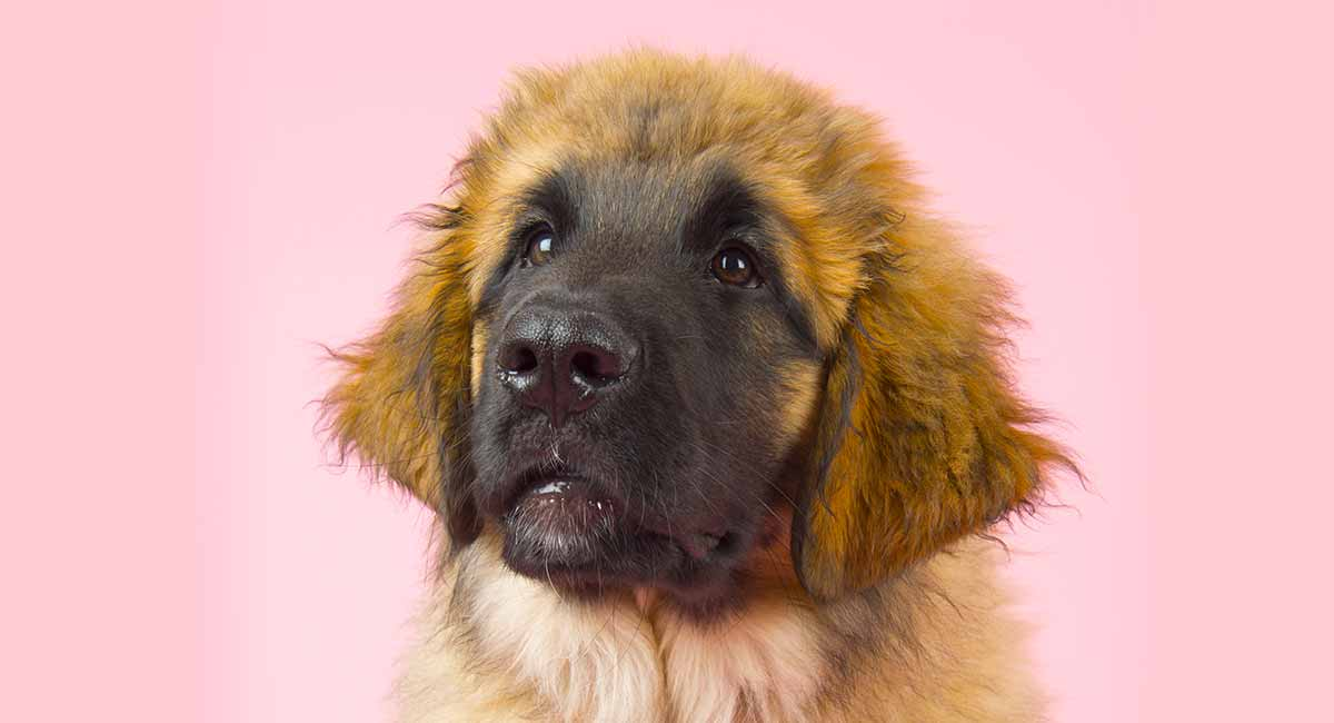 German Leonberger