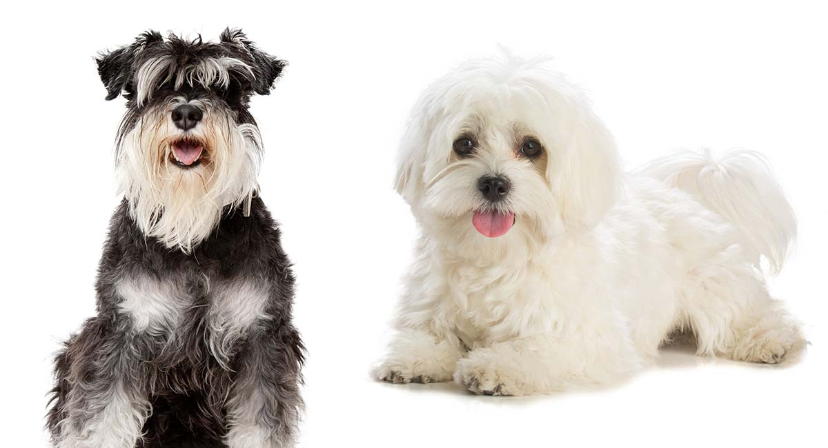 The Maltese Miniature Schnauzer Guide