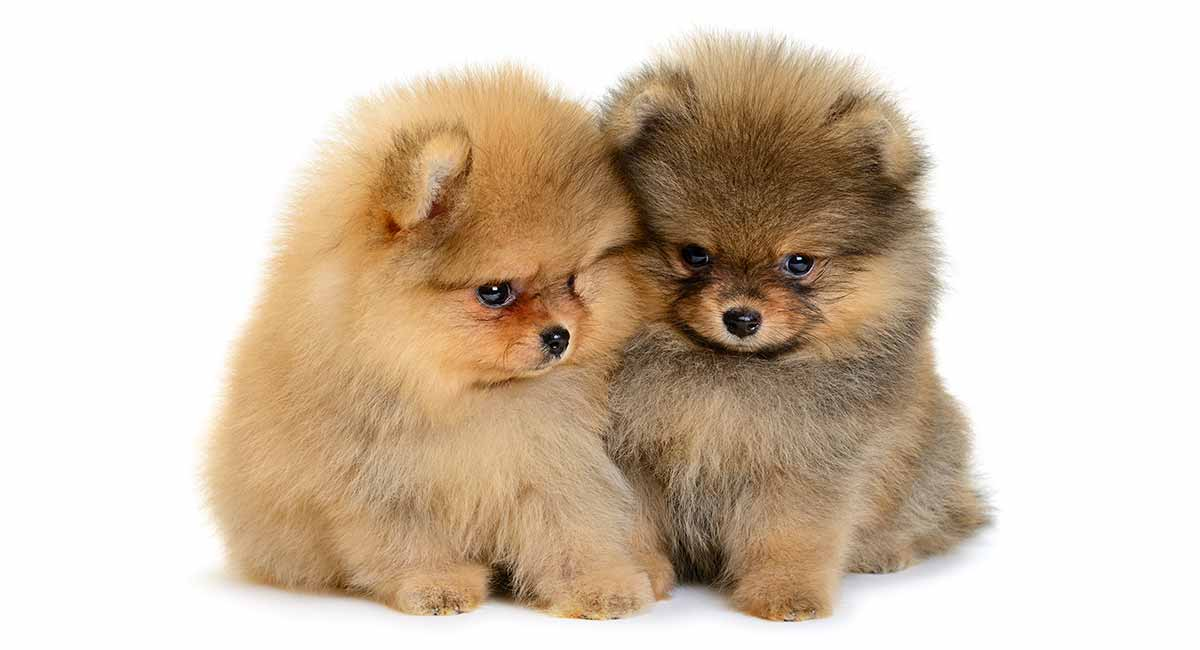 Check out our list of Pomeranian names!