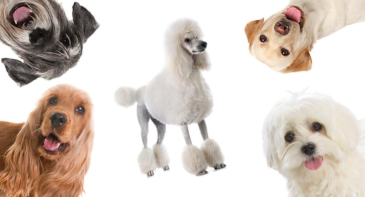 Poodle Mixes The Twenty Most Popular Doodle Dogs