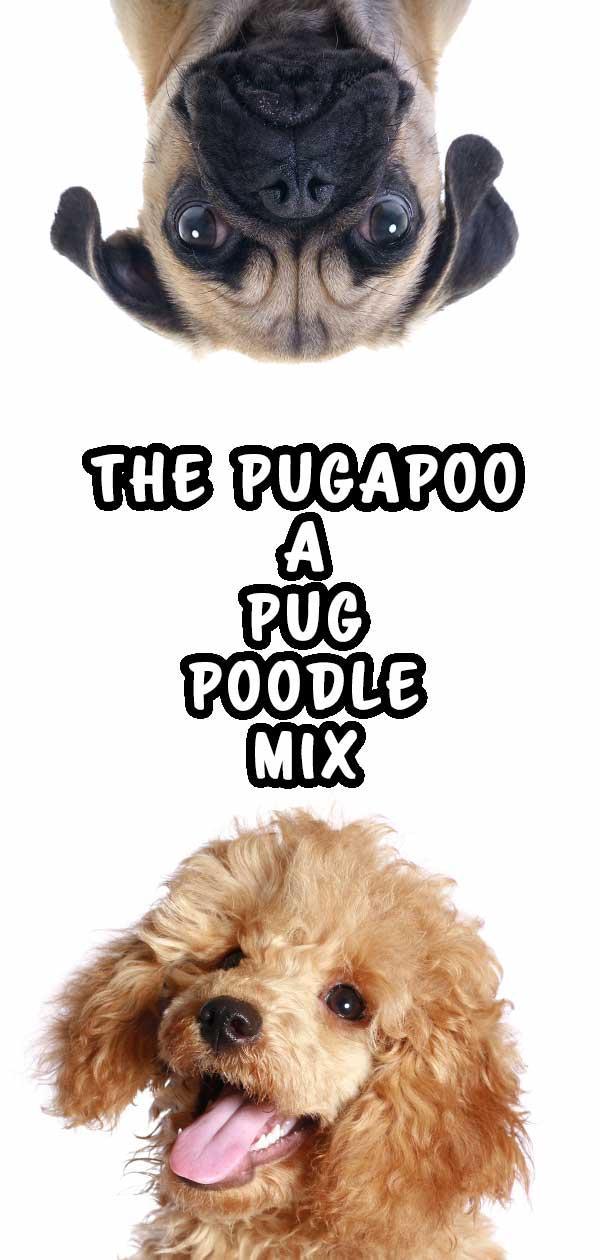 Pugapoo - pug poodle mix