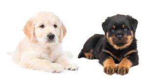 Golden Rottweiler  – The Rottweiler Golden Retriever Mix