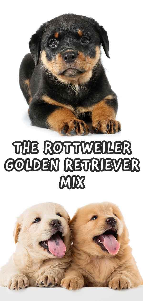 golden rottweiler