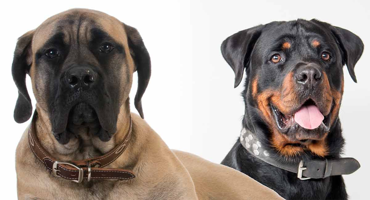 Rottweiler Mastiff Mix – A Larger Than Life Crossbred Dog!