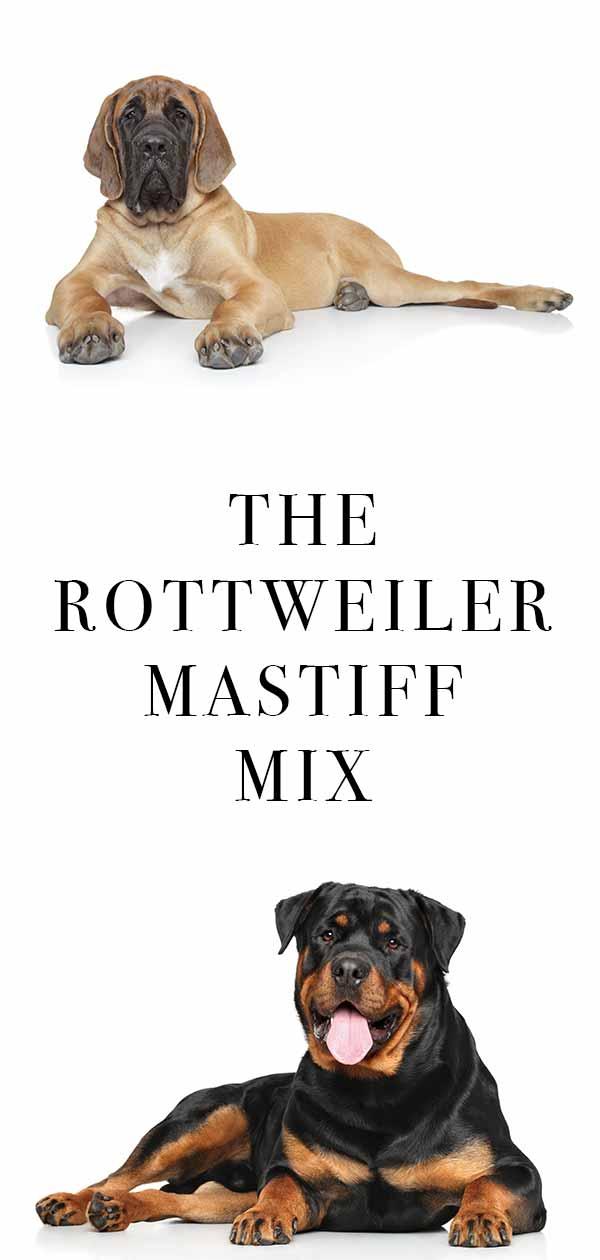 Rottweiler Mastiff Mix – A Larger Than Life Crossbred Dog!
