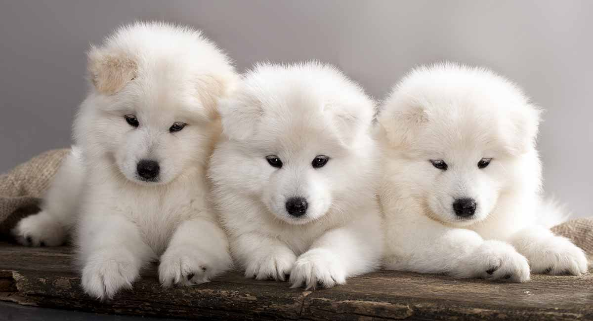 samoyed - the white wolf of the pet dog world