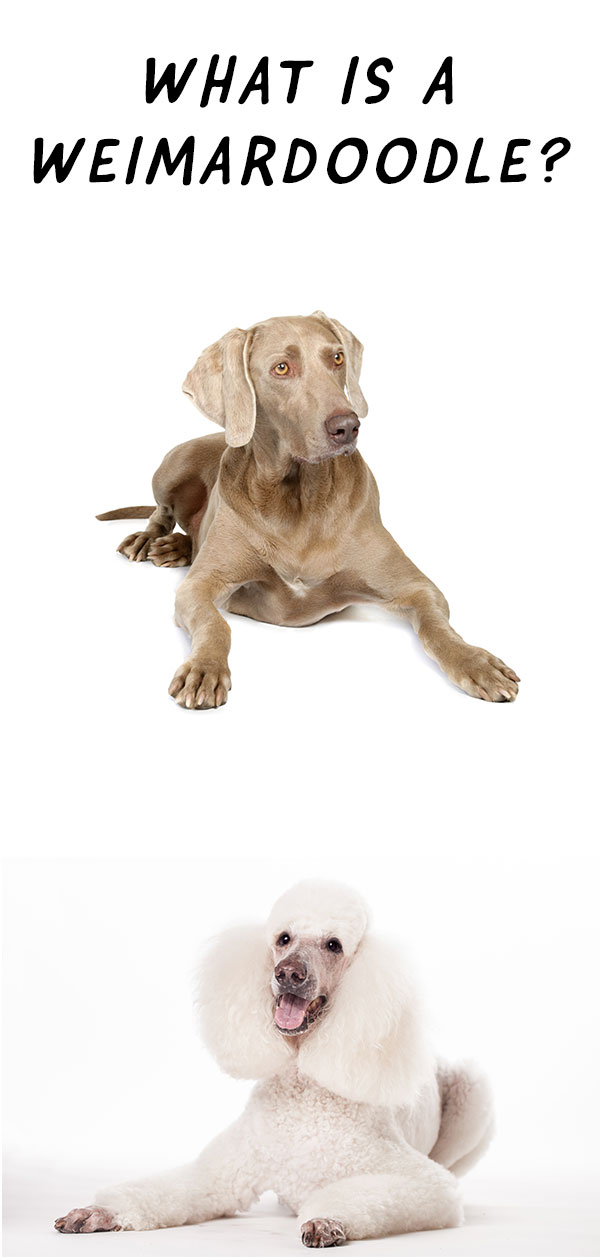 Weimardoodle: The Weimaraner Poodle Mix