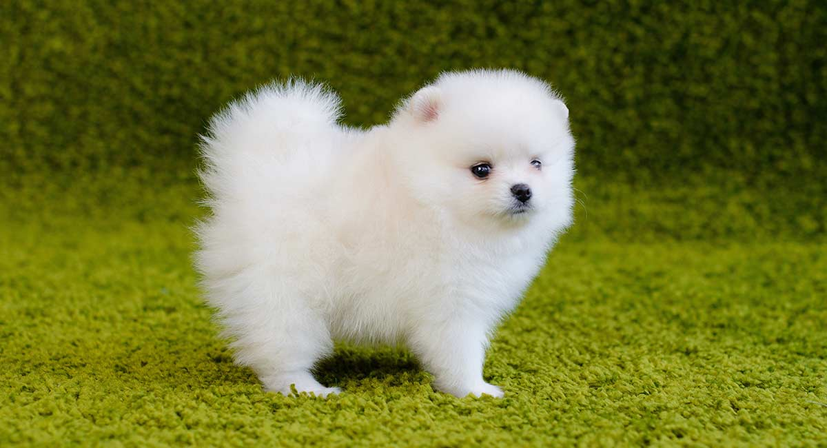 What about a white Pomeranian?