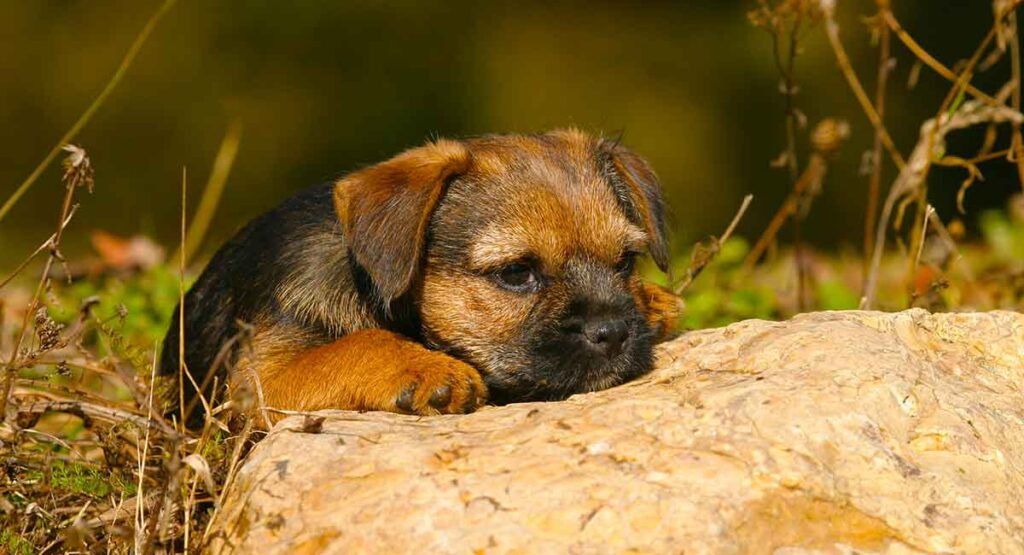Border Terrier Dog Breed Information Center - The Border Terrier Guide