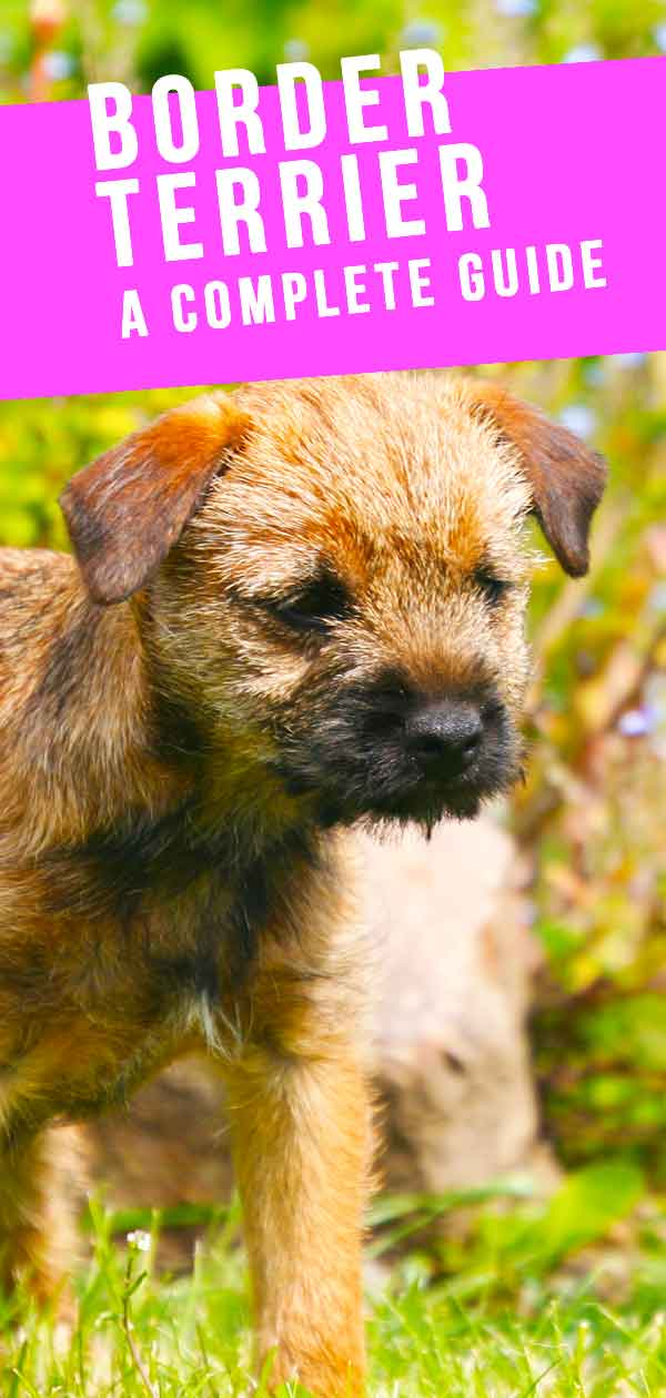 Border Terrier Dog Breed Information Center - The Border Terrier Guide