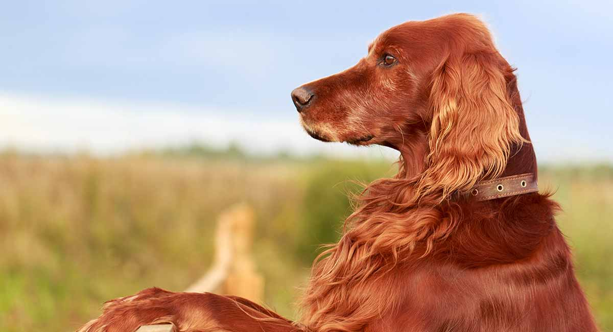 Irish Setter Dog Breed Information Center