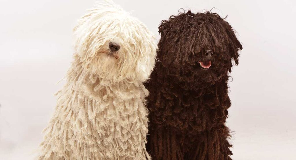 Puli – A Complete Guide To The Hungarian Puli Dog Breed