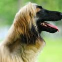 Afghan Hound – The Sleek and Gentle Breed
