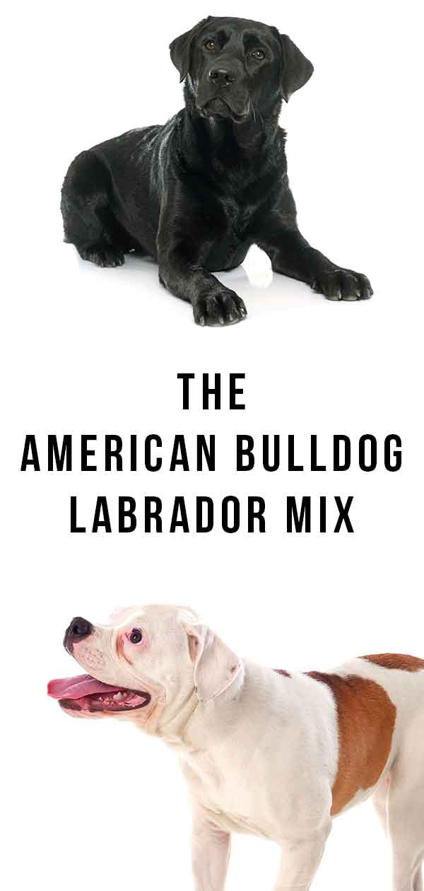 american bulldog lab mix