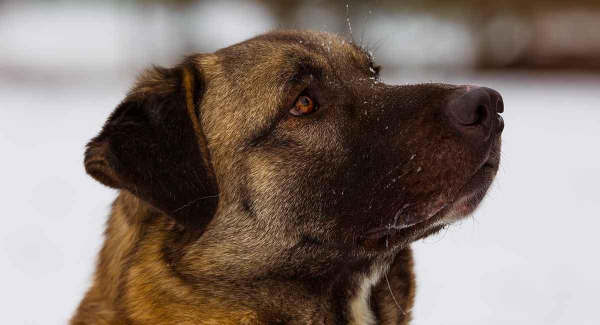 Anatolian Shepherd - Is This Giant Breed A Good Family Pet?