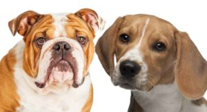 Beabull – The Beagle English Bulldog Mix
