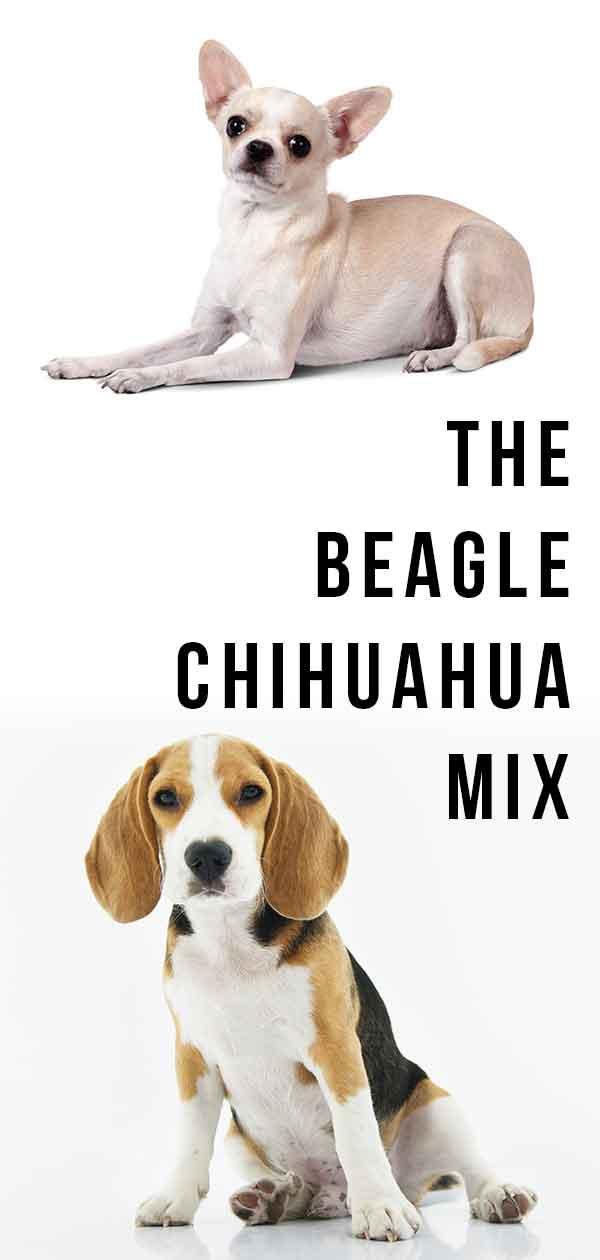 Cheagle – Is The Beagle Chihuahua Mix A Perfect Combination?