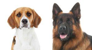 Beagle German Shepherd Mix – Two Popular Breeds Combined