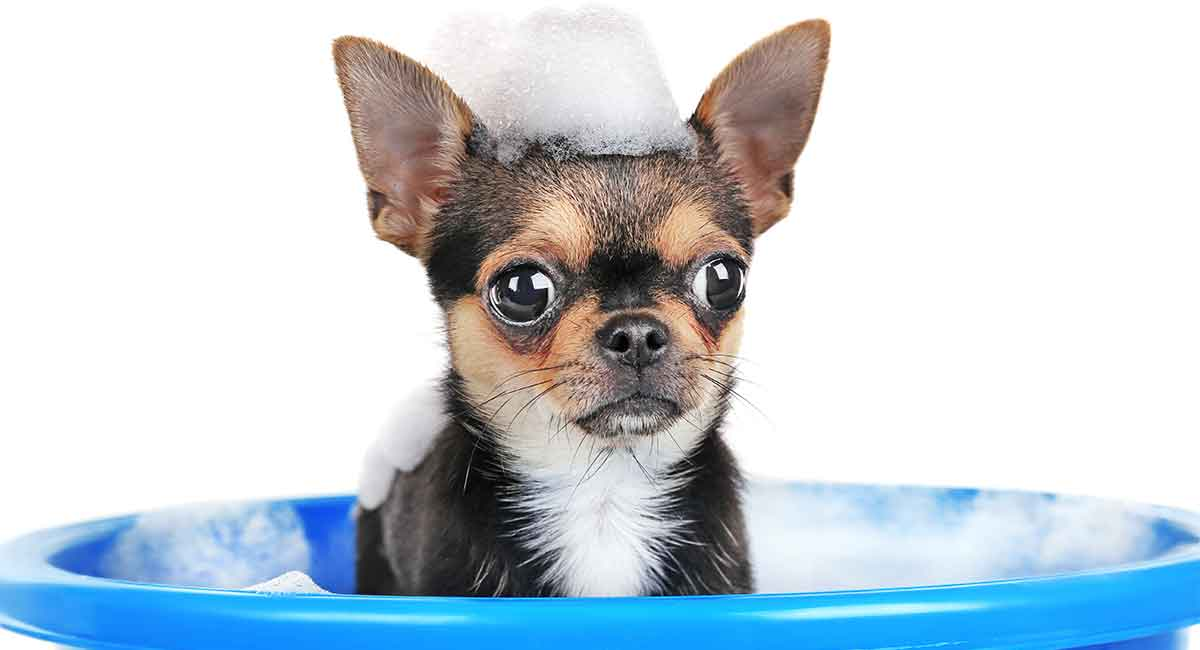 best shampoo for chihuahua