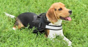 Best Walking Harness For Beagles – Keeping Your Pup Safe