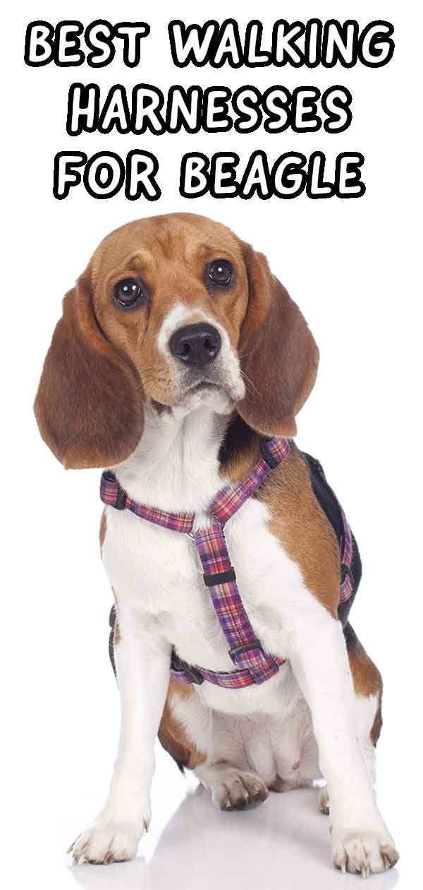 best walking harness for beagles
