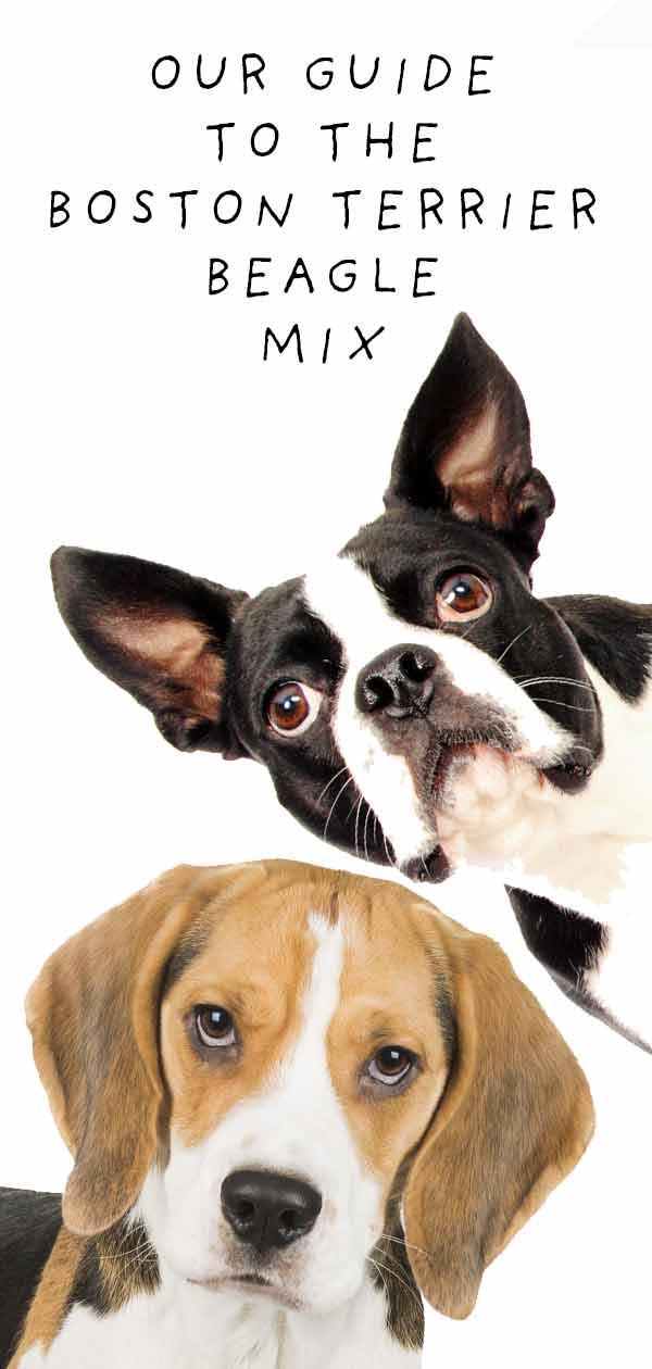 boston terrier beagle mix