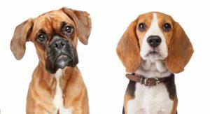 Boxer Beagle Mix – Meet the Bogle