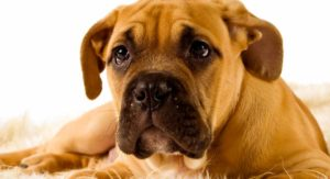 Bullmastiff – Just A Great Guard Dog, Or The Perfect Pet?