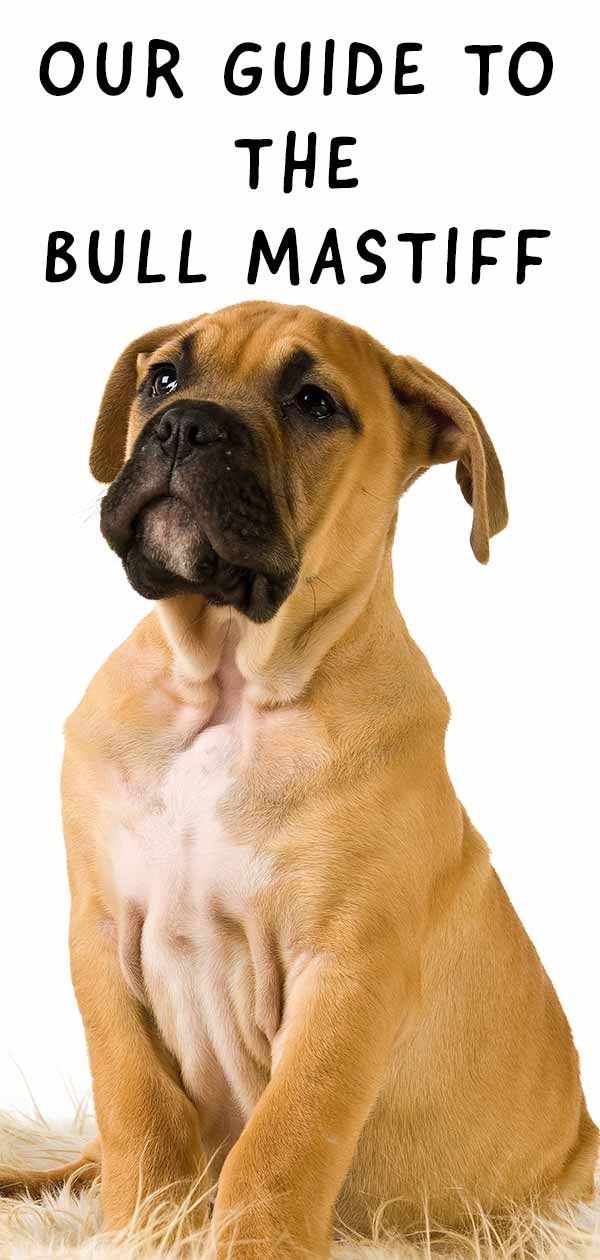 Learn more about the English Bullmastiff.