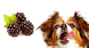 Can Dogs Have Blackberries As an Antioxidant Laden Snack?