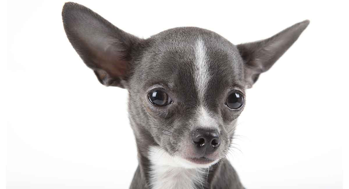 Chihuahua Lifespan How Long Do Chihuahuas Live