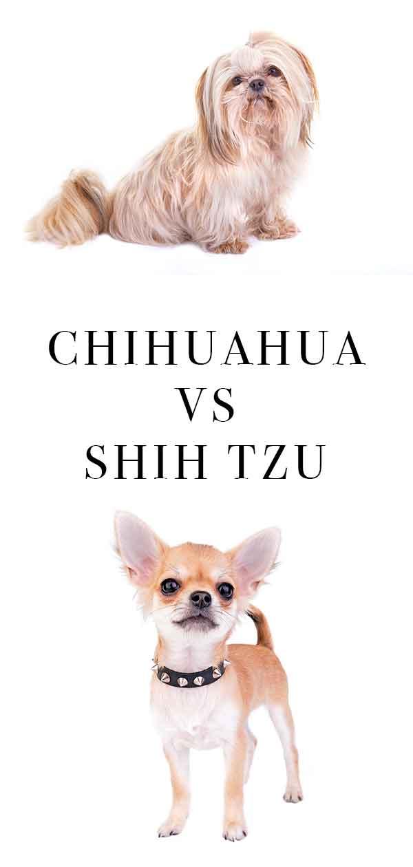 chihuahua vs shih tzu