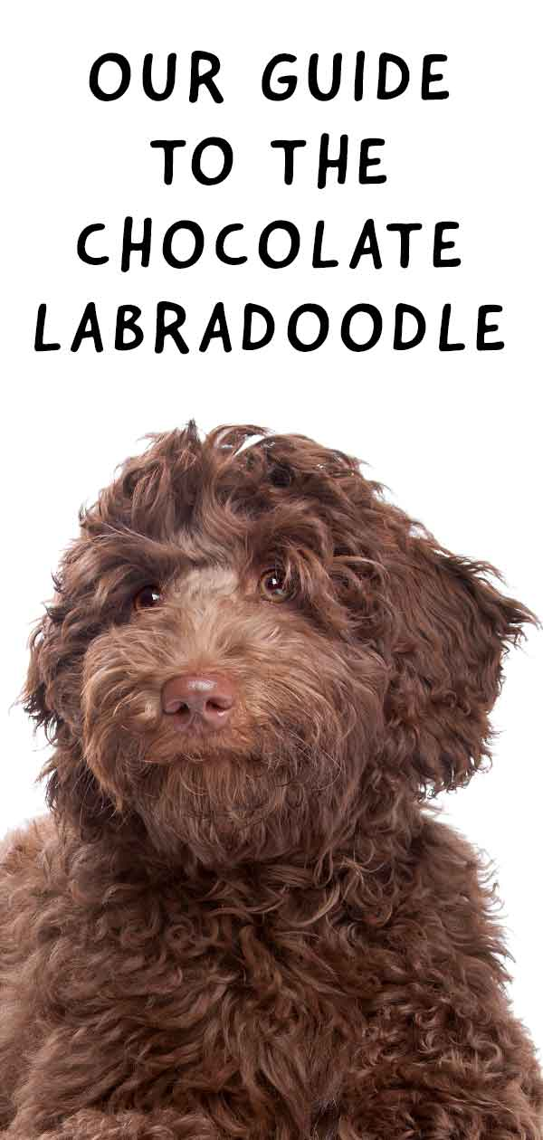 Chocolate Labradoodle Fun Facts Top Tips Your Favorite