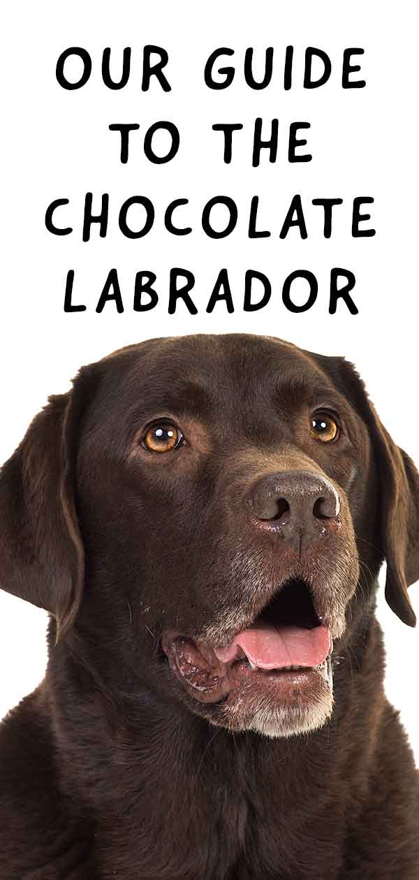 chocolate labrador guide