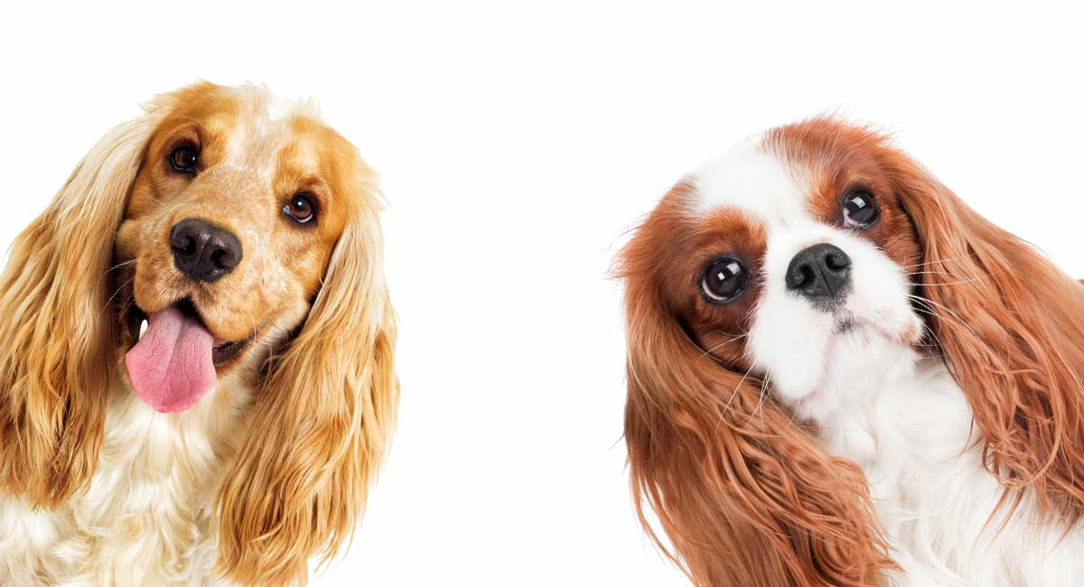 Cockalier – The Cocker Spaniel Cavalier King Charles Mix - The Happy