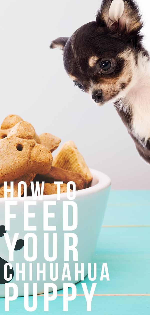 feeding a chihuahua puppy